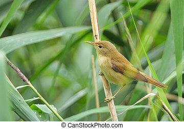 Eurasian Reed-Warbler looking for food