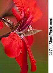 blossom from a geranium flower -macrophoto