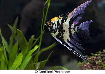 Angel fish in green aquarium  use for multipurpose
