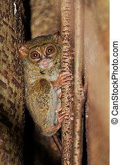 Tarsier, the smallest primate, Tangkoko, Sulawesi Tarsier,...