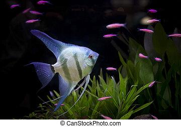 angle fish  in aquarium