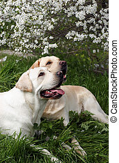 Two yellow labradors under a bloomig tree