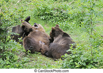 Brown bear - Wild brown bear in  forest