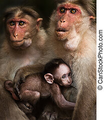Family portrait of macaque monkeys in wild Small baby breast...