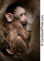 Portrait of small baby macaque monkey breast feeding