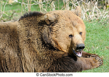 Brown bear mouth open