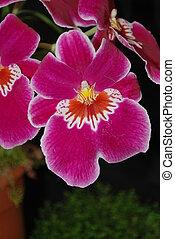 Miltonia Eros Kensigton orchid - Miltonia Eros Kensigton or...