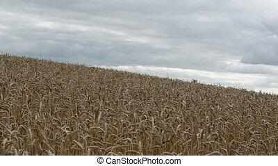 pan view wheat field