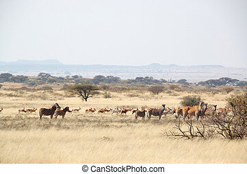 Wildlife at a game farm in South Africa - Springbok, Eland,...