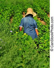 granja, trabajador, hembra