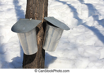 Maple Sap Pails - Sap pails collecting in the late winter