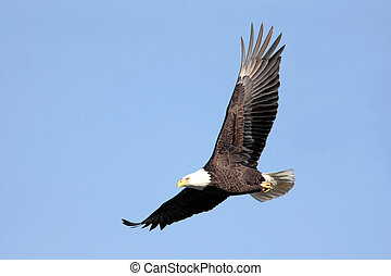 Bald Eagle In Flight - Adult Bald Eagle (haliaeetus...