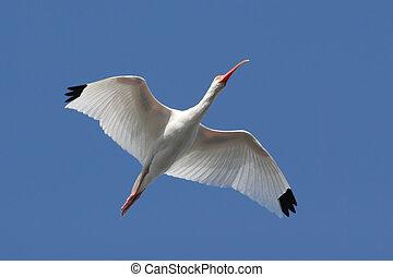 White Ibis (Eudocimus albus) flying over the Florida...