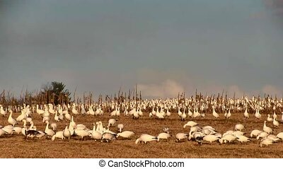 Snow Geese Take Flight - Snow Geese fly from a hilltop in...