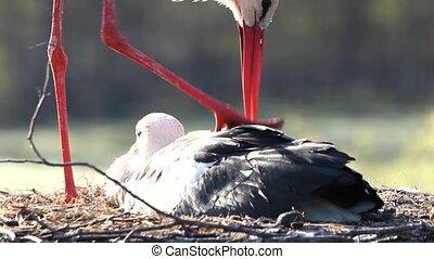 White stork standing on the nest