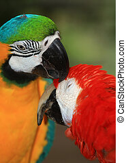 a  pair of macaws - two colourful macaws grooming