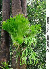 staghorn, helechos