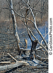 After forest fire 17 - A landscape in leafy forest after...
