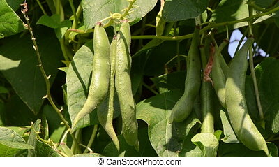 close bean pod move wind - closeup of green bean pods and...