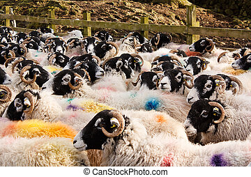Stock marked sheep in pen