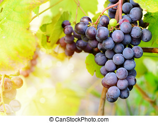 Blue grapes on vine - Blue grapes cluster on vine with...