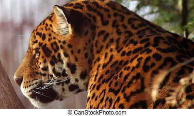 agile jaguar