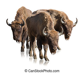 Group Of Bisons Isolated On White Background