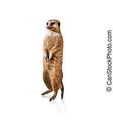 portrait, de, Meerkat