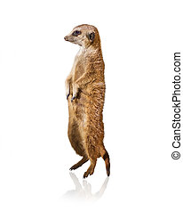Portrait Of Meerkat Isolated On White Background