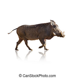 Portrait Of Wild Boar Isolated On White Background