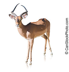 Portrait Of Antelope Isolated On White Background