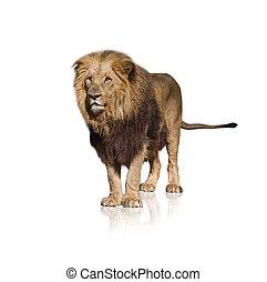 Retrato, de, selvagem, Leão