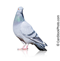 Portrait Of Grey Pigeon Isolated On White Background