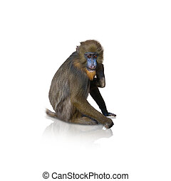 Portrait Of Macaque On White Background