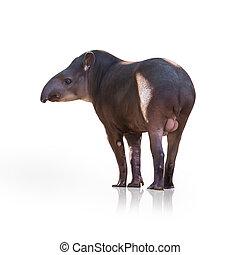 retrato, de, tapir