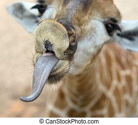 rigolote, girafe