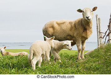 Sheep with lambs in the nature