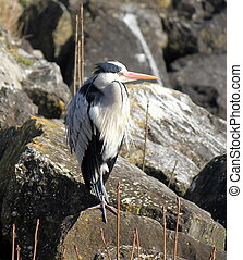Heron on a rock - Quiet grey heron standing on a rock with...