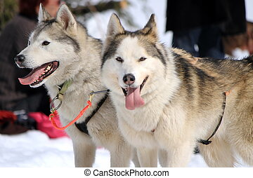 A husky sled dog team at rest with tongue outside by winter...