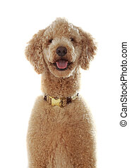 pure breed poodle - portrait of a pure breed beige poodle...
