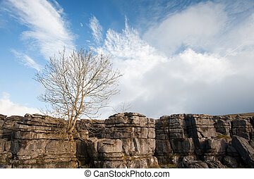 Lone tree Malham Cove in Yorkshire Dales National Park