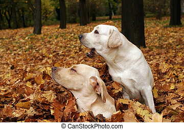 two yellow labradors in the park in autumn leaves