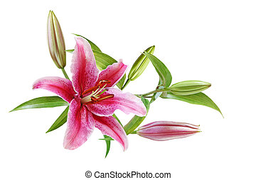 Lilies - Lily flower with stamens intact isolated on white
