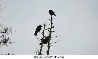 crows in the trees in winter