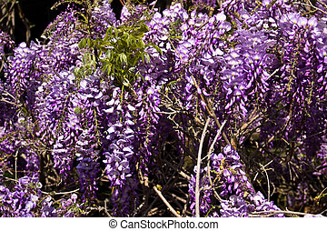 Wistaria Spring Blossoms - Hanging blossoms of wistaria...