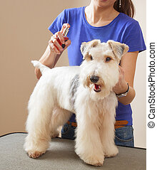 barber sprays fox terrier with cologne after a haircut