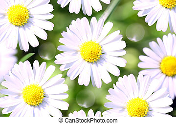 Sunny chamomile flowers close-up