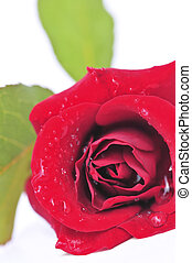 Red rose flower on white background
