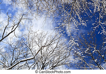 Winter trees and blue sky - Winter tree tops covered with...