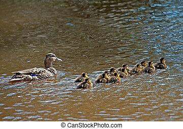 The female Mallard or Wild Duck (Anas platyrhynchos) with...